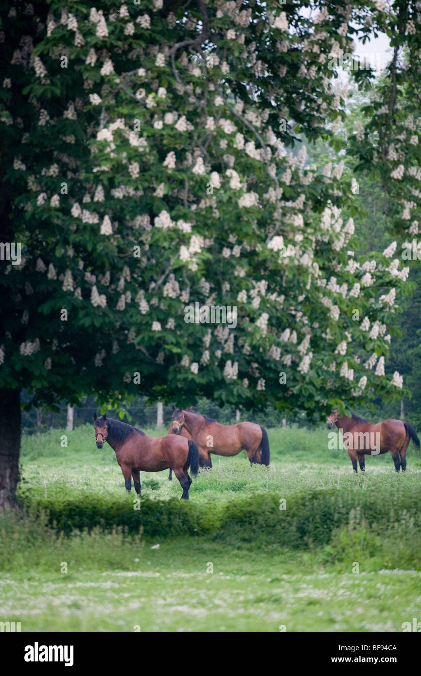 HERD OF CLEVELAND BAY HORSES - Stock Image