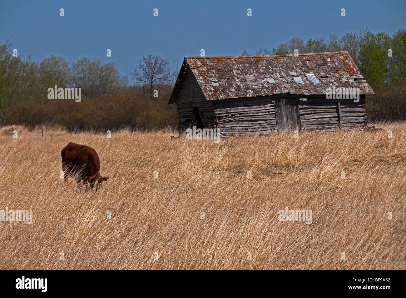 Old Cabin and cow in a hay field.  The hay shows the tilt due to prevailing wind - Stock Image