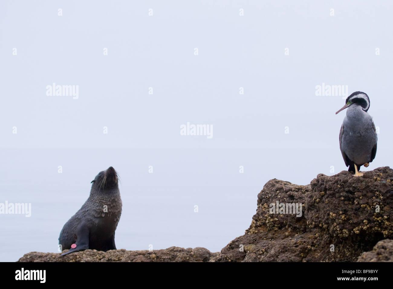 Spotted Shag (Phalacrocorax punctatus) and a New Zealand Fur Seal (Arctocephalus forsteri) at Patons Rock, New Zealand - Stock Image