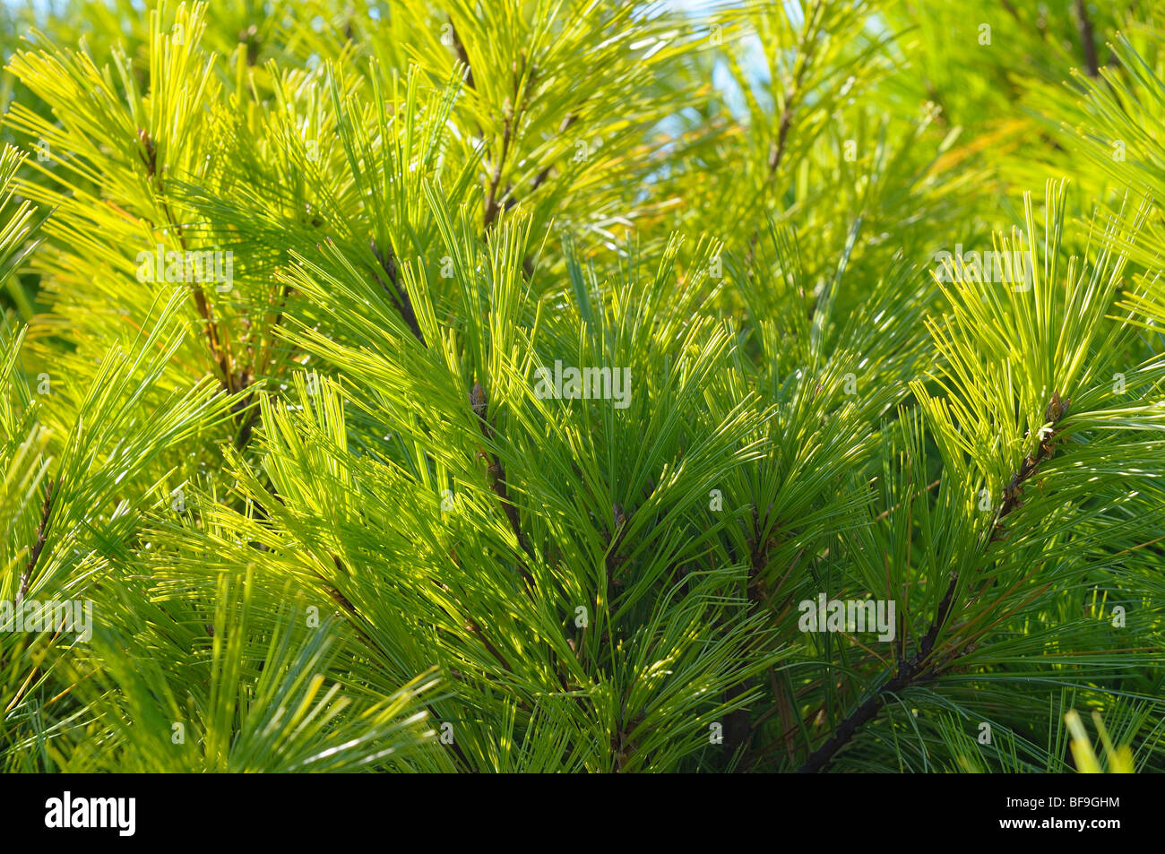 Pine close-up. Stock Photo