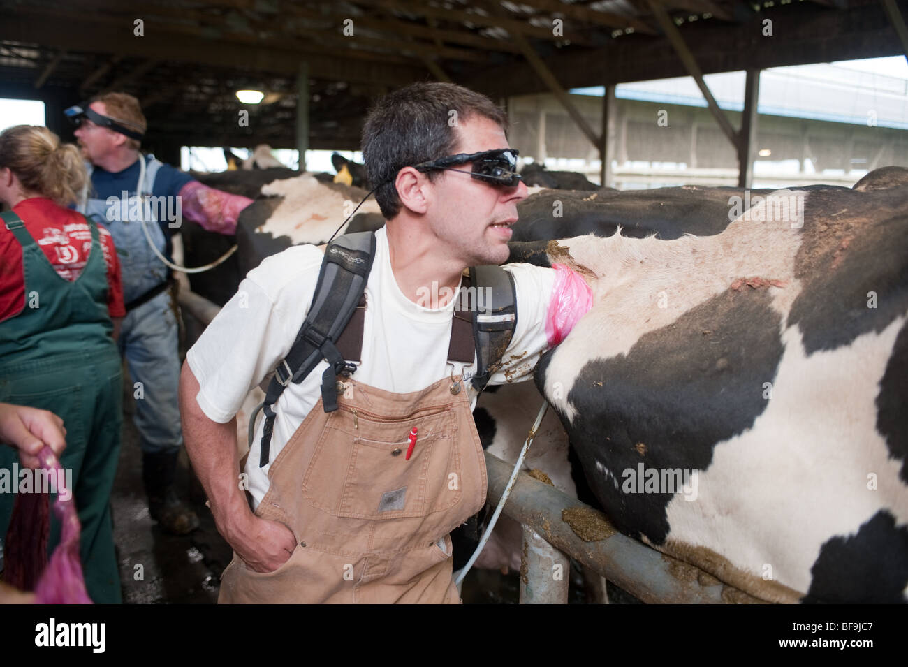 Vets Pregnancy Testing Dairy Cows Using Ultrasound
