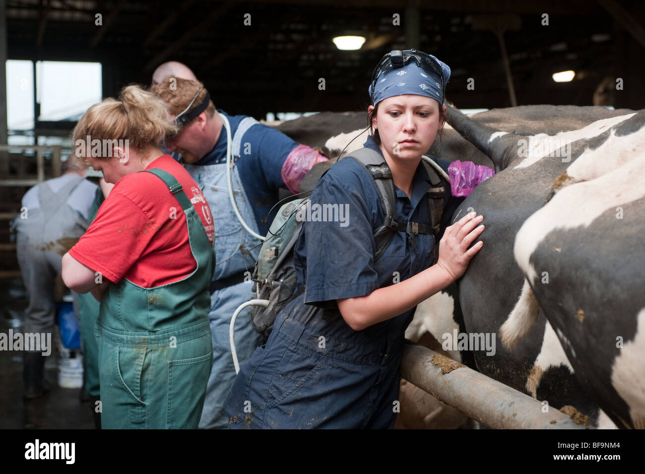 Vets pregnancy testing dairy cows using ultrasound equipment