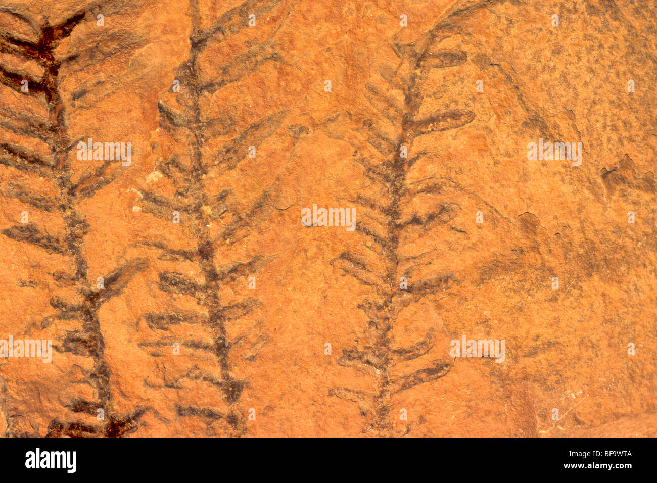 Fossil ferns from Hermit Shale, early Permian age, museum collection #3074 at Grand Canyon National Park, Arizona - Stock Image