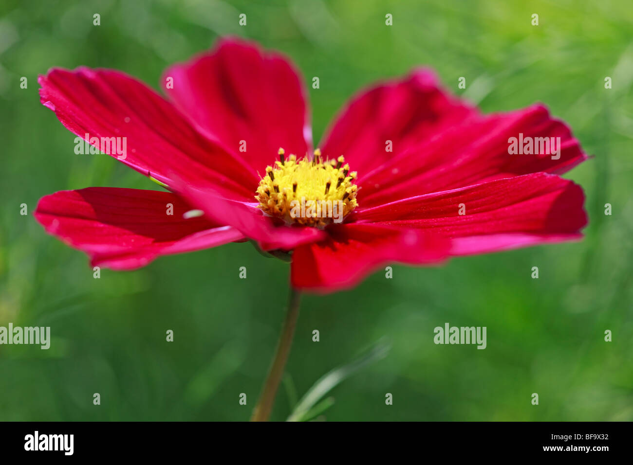 Deep pinky red Cosmos flower - Stock Image