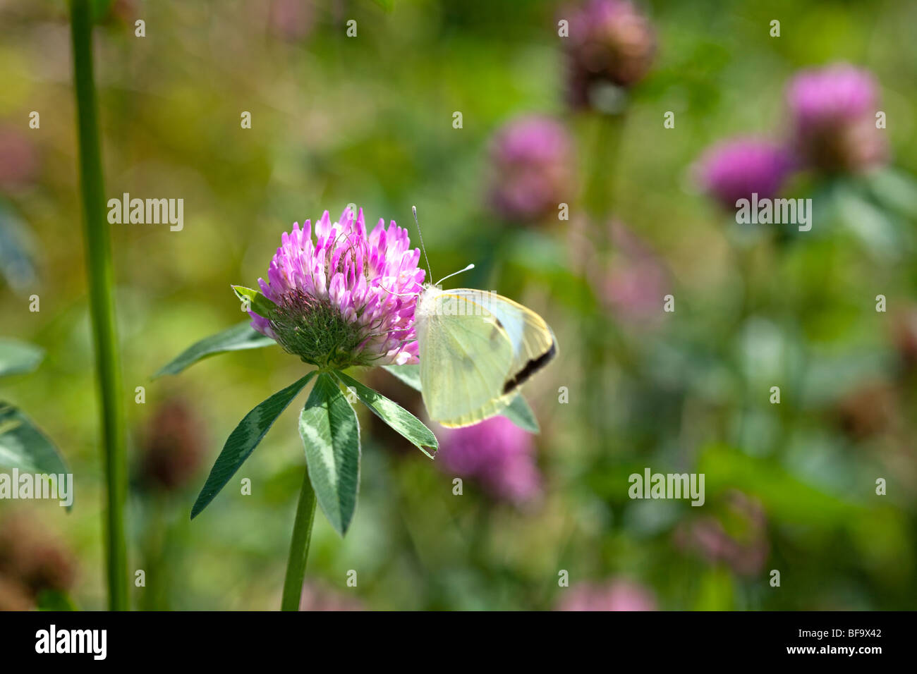 Small white butterfly on clover - Stock Image