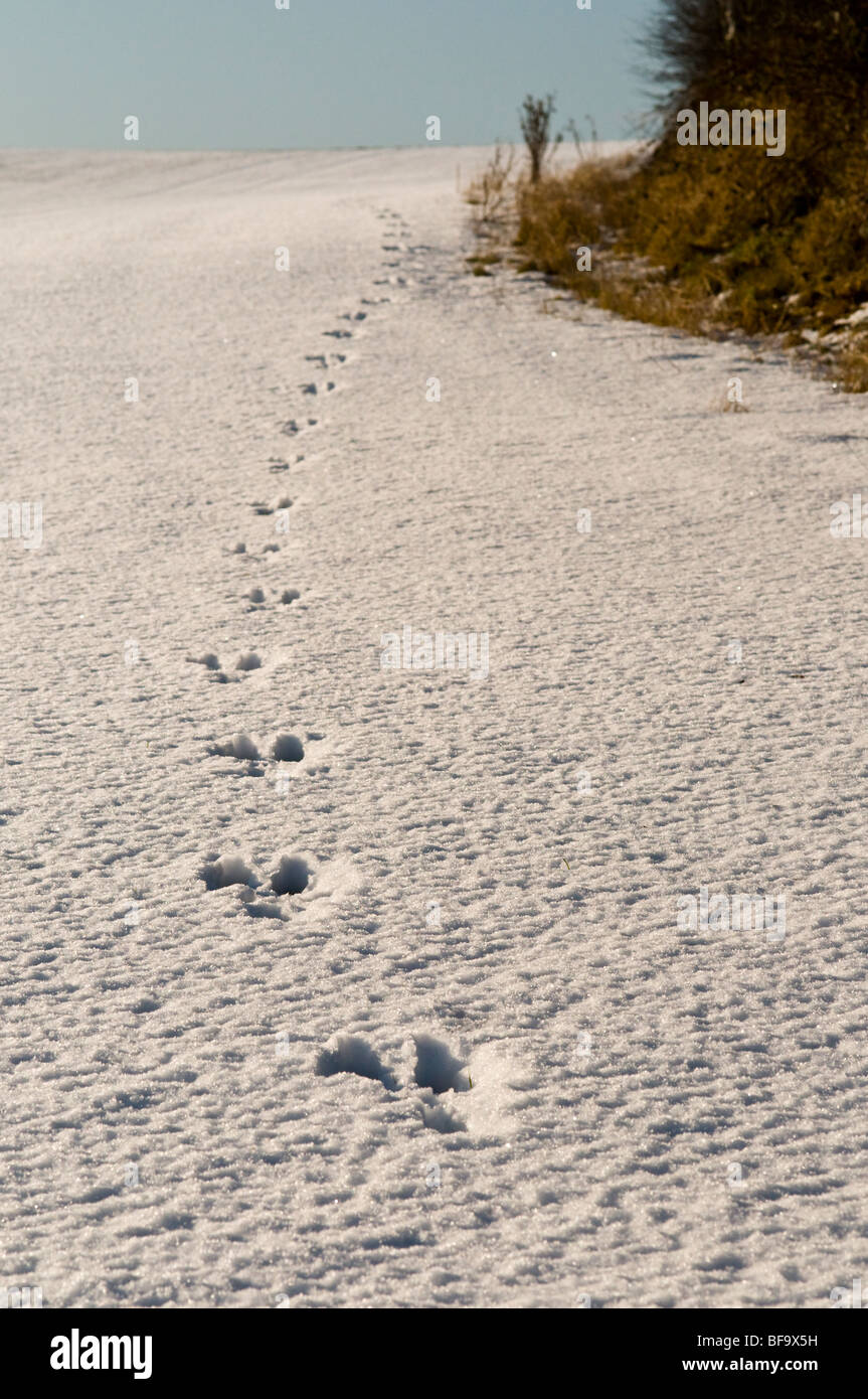 A fresh set of hare tracks after an overnight snow fall near the village of Huggate in East Riding of Yorkshire - Stock Image