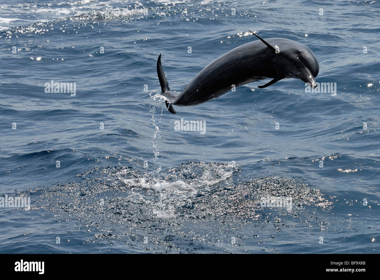 Pantropical Spotted Dolphin, Stenella attenuata, breaching clear of the water, Maldives, Indian Ocean. - Stock Image