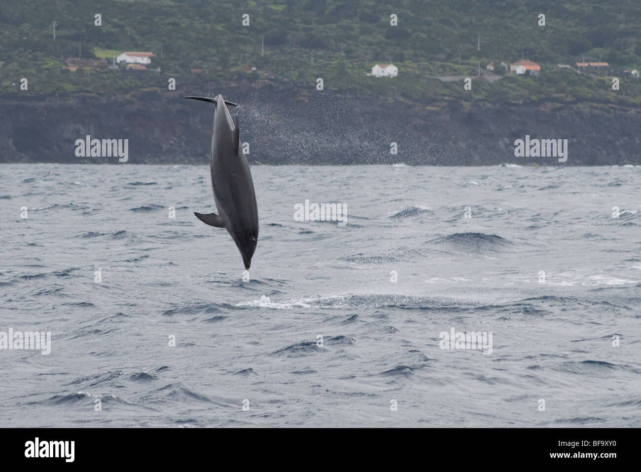 Common Bottlenose Dolphin, Tursiops truncatus, breaching clear of the water, Azores, Atlantic Ocean. - Stock Image