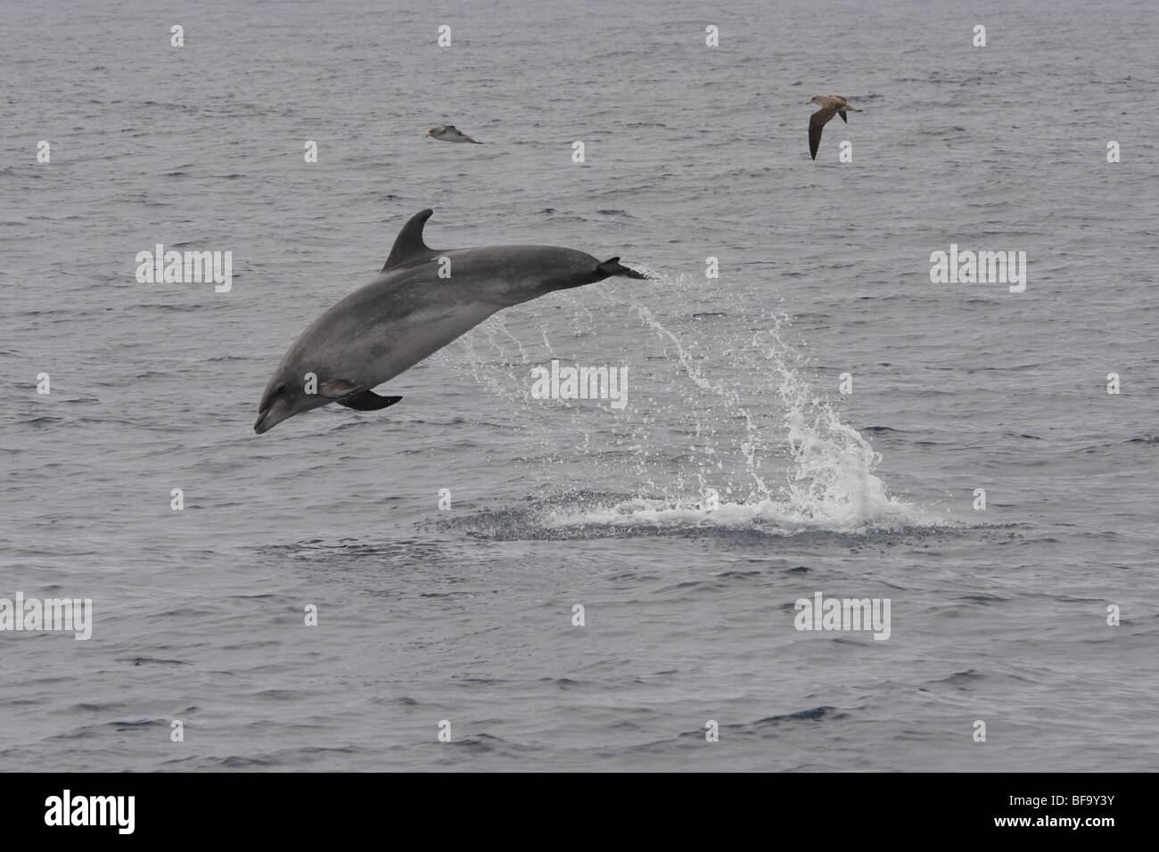 Common Bottlenose Dolphin, Tursiops truncatus, breaching high in the air, off Faial Island, Azores, Atlantic Ocean. - Stock Image