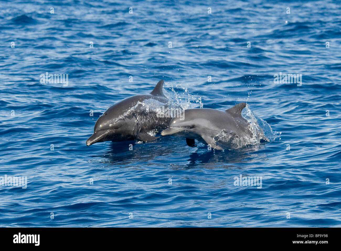 Inshore Pantropical Spotted Dolphin, Stenella attenuata graffmani, mother & calf porpoising, Costa Rica, Pacific - Stock Image