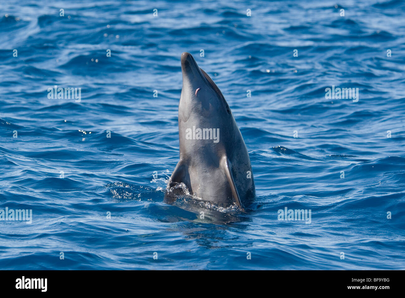 Common Bottlenose Dolphin, Tursiops truncatus, spyhopping, Costa Rica, Pacific Ocean. - Stock Image