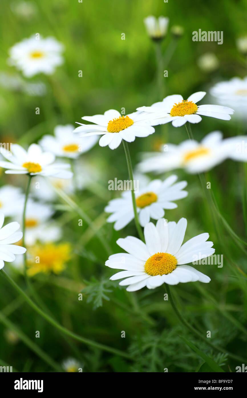 White Daisy Like Flowers Stock Photos White Daisy Like Flowers