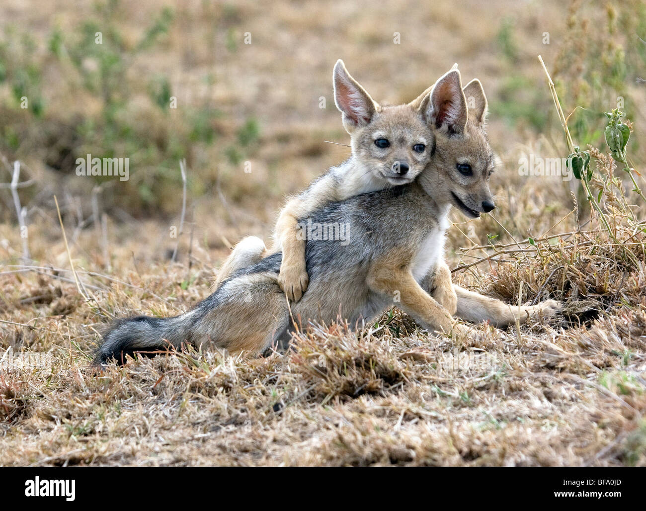 Jackal cubs playing - Stock Image