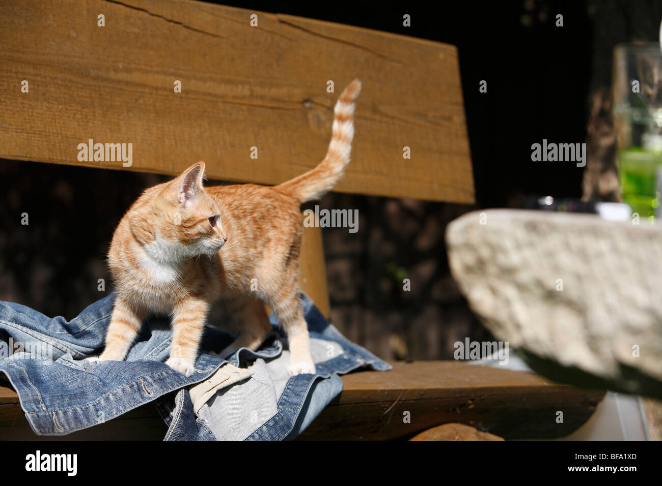 domestic cat, house cat, European Shorthair (Felis silvestris f. catus), half year old cat standing on a bench on - Stock Image