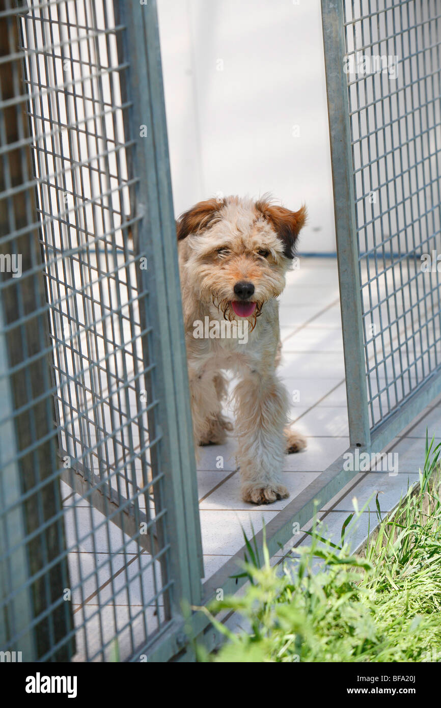 mixed breed dog (Canis lupus f. familiaris), fearful dog in a cage of a sanctuary, Englisch - Stock Image