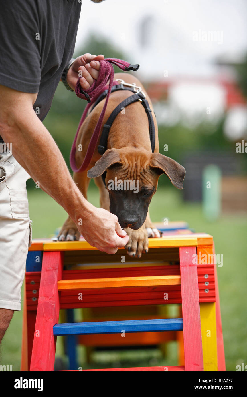Staffordshire Bull Terrier (Canis lupus f. familiaris), puppie is attracted to walk over a barrier in a dog school, - Stock Image