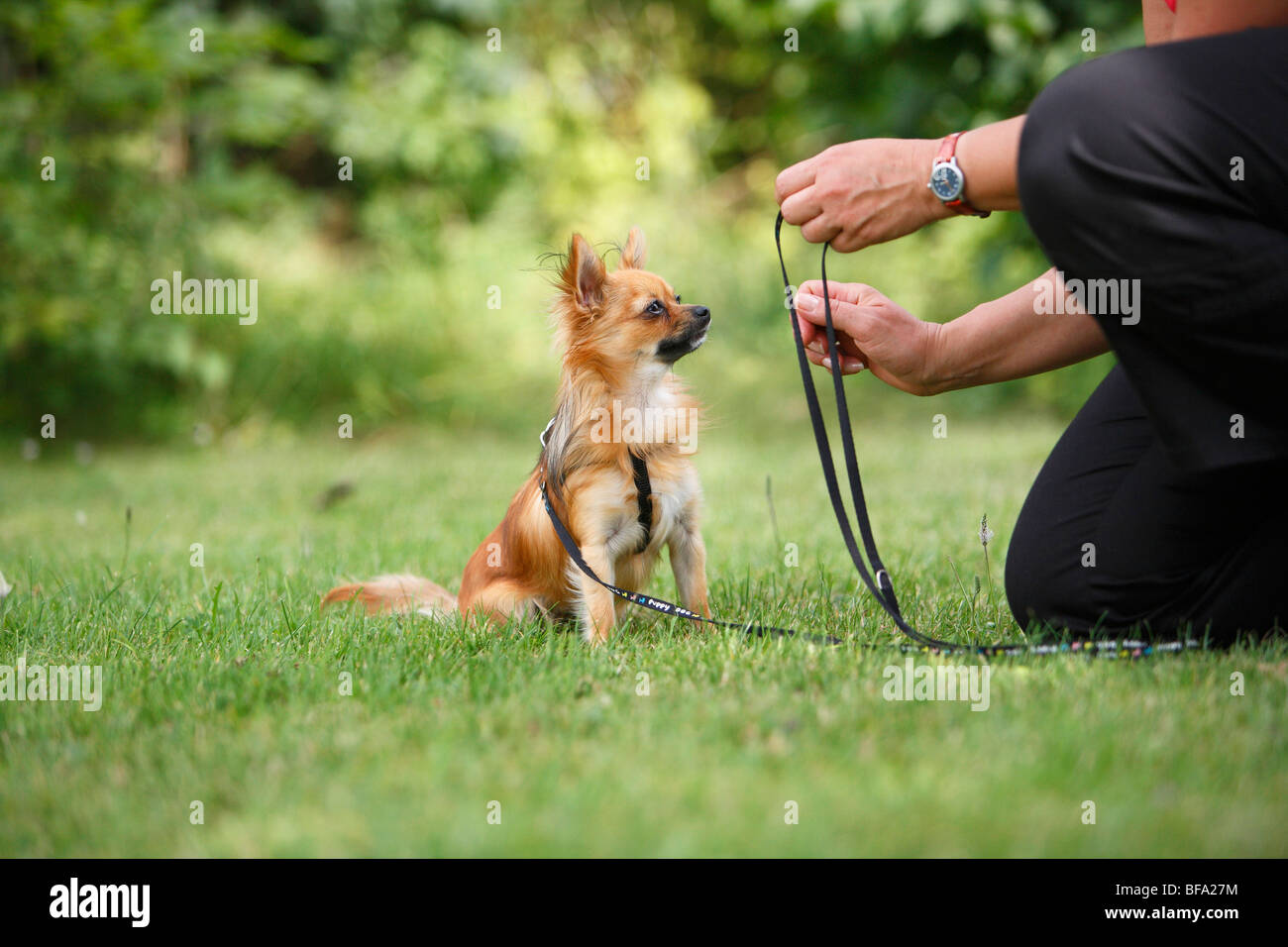 Chihuahua (Canis lupus f. familiaris), leashed individual sitting in a meadow in front of a man, Germany Stock Photo