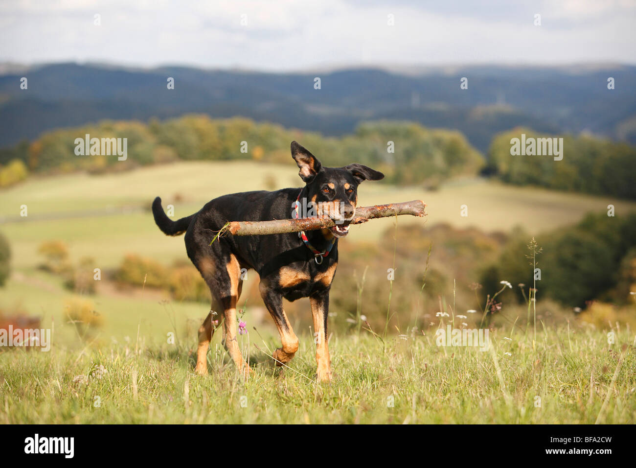 mixed breed dog (Canis lupus f. familiaris), ten years old female Dobermann-mixed breed dog walking over a meadow - Stock Image