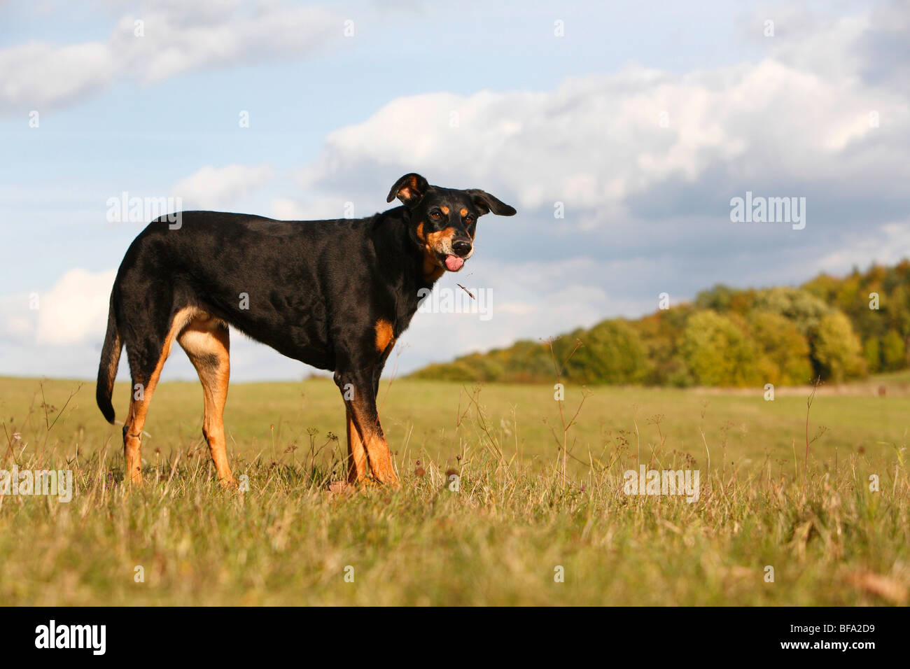 mixed breed dog (Canis lupus f. familiaris), ten years old female Dobermann-mixed breed dog standing in a meadow - Stock Image