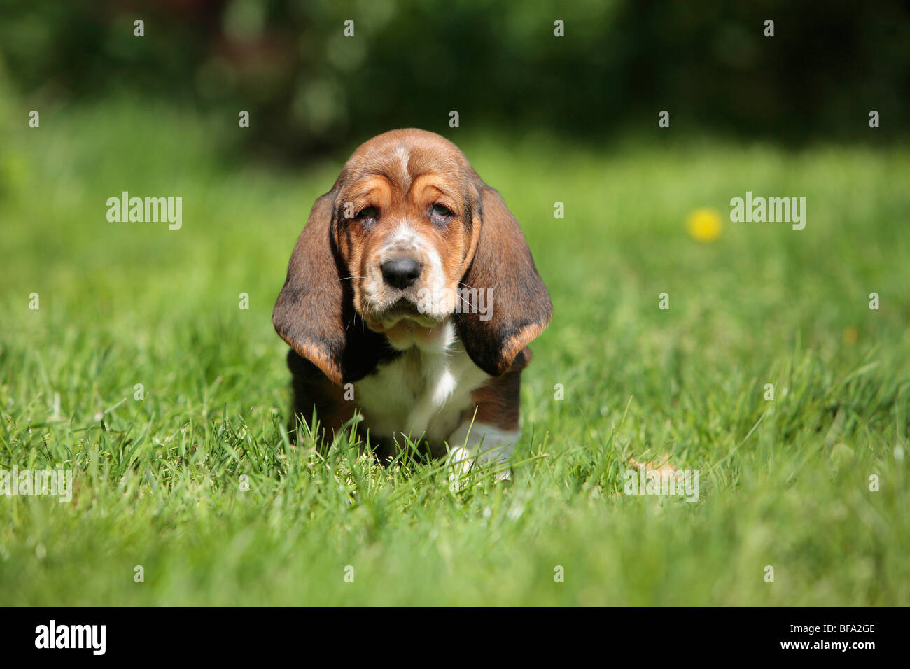 Basset Hound (Canis lupus f. familiaris), puppy sittin in a meadow, Germany - Stock Image