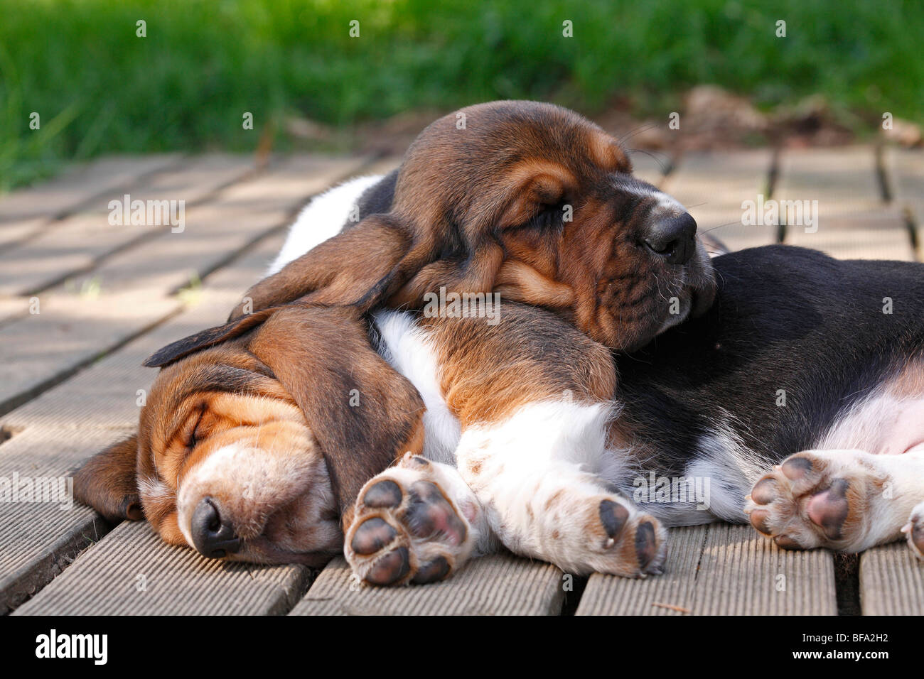 Basset Hound (Canis lupus f. familiaris), two puppies lying on a terrace sleeping, Germany - Stock Image