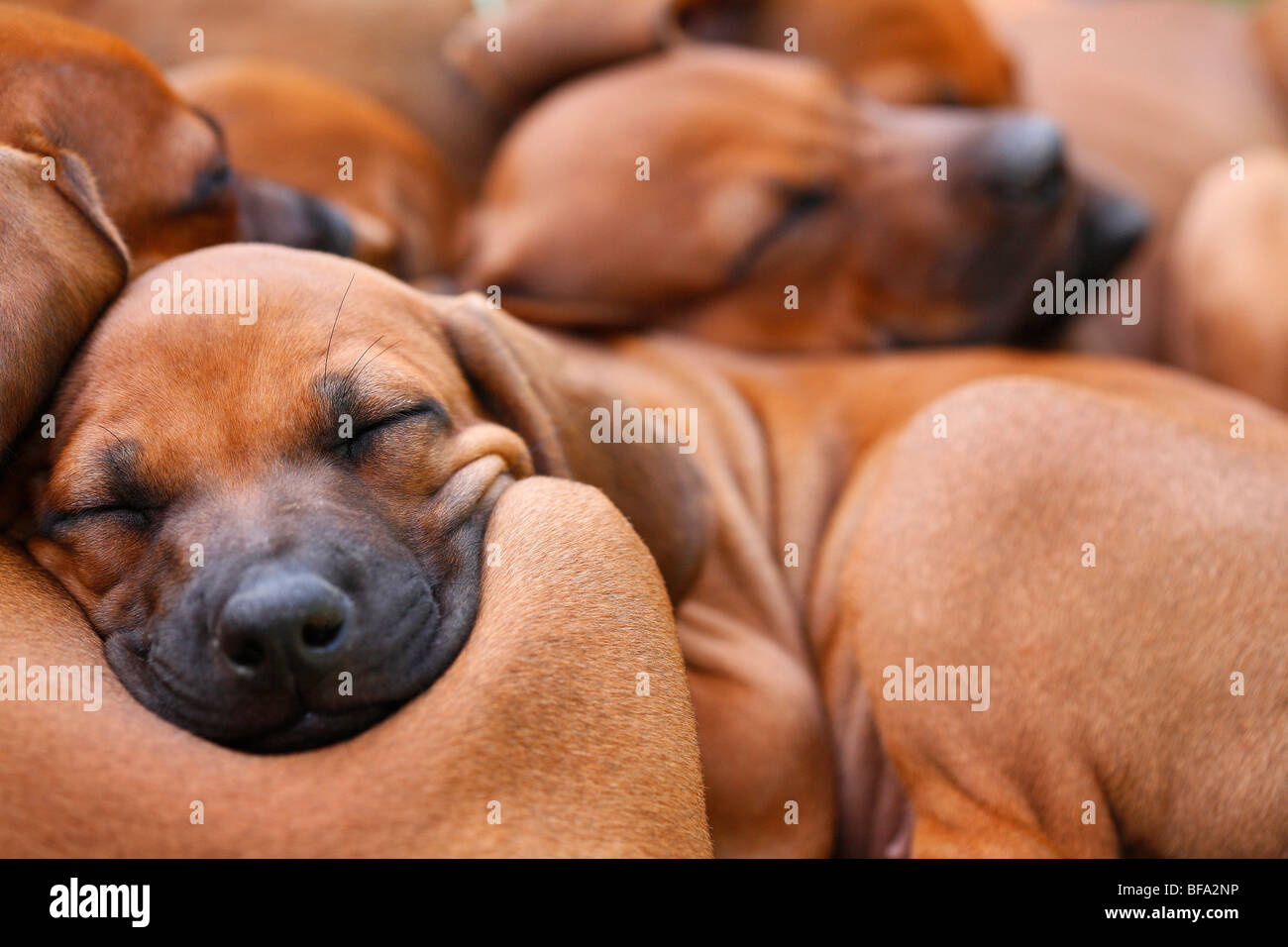 Rhodesian Ridgeback (Canis lupus f. familiaris), several eight weeks old puppies sleeping cuddled together Stock Photo