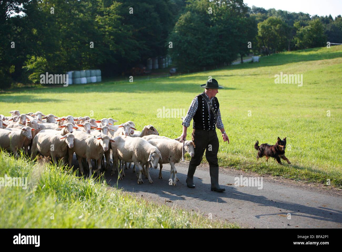 Gelbbacke (Canis lupus f. familiaris), shepherd leading his flock of sheep over a narrow asphalt road through meadows - Stock Image
