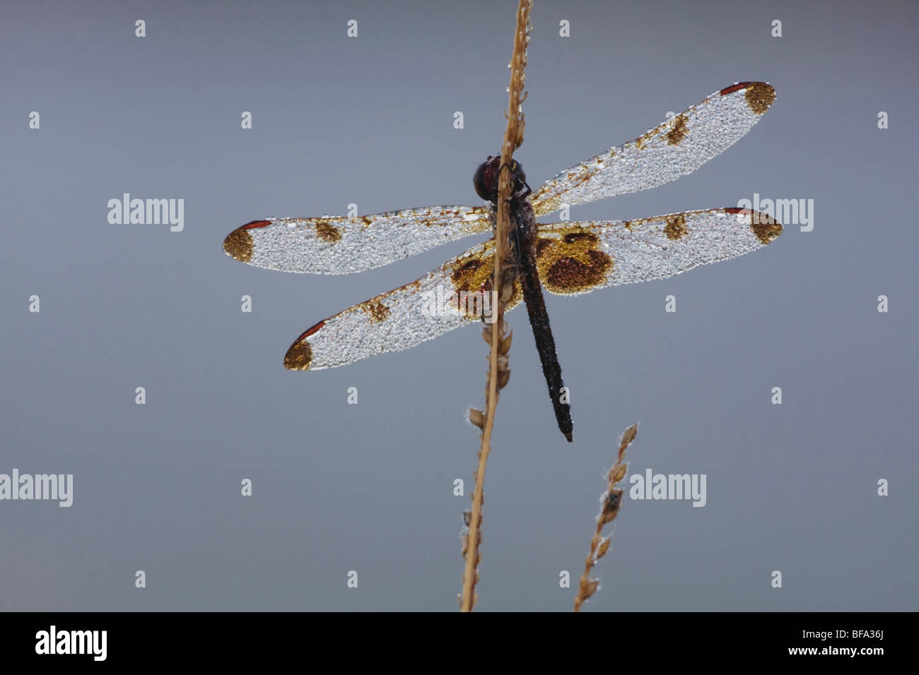 Calico Pennant (Celithemis elisa), covered in dew, Howell Woods Environmental Learning Center, Four Oaks, North - Stock Image