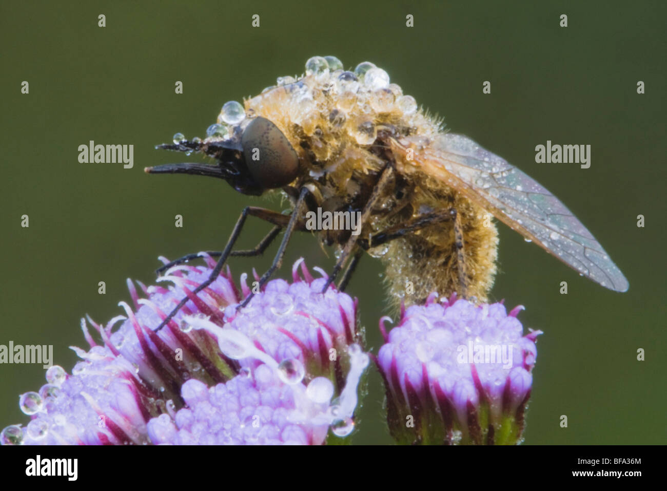 Fly (Diptera), dew covered on flower, Angier, North Carolina, USA - Stock Image