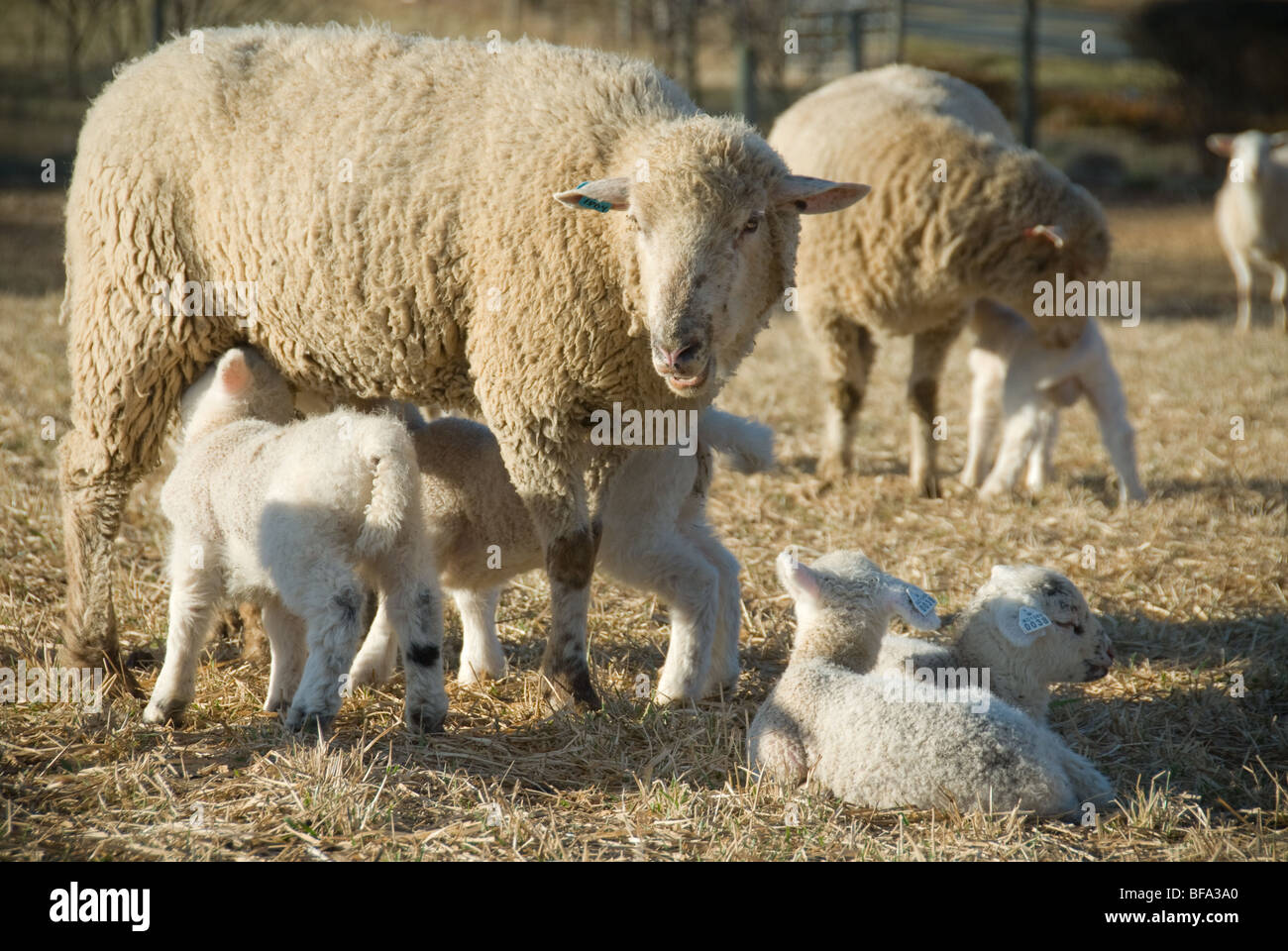 Katahdin sheep and lambs on farm - Stock Image