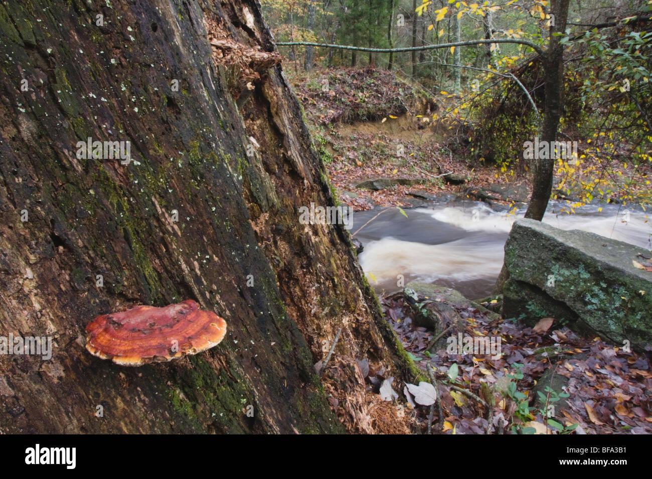 Mustard-Yellow Polypore (Phellinus gilvus) on dead tree, Rolesville Millpond Natural Area, North Carolina, USA - Stock Image