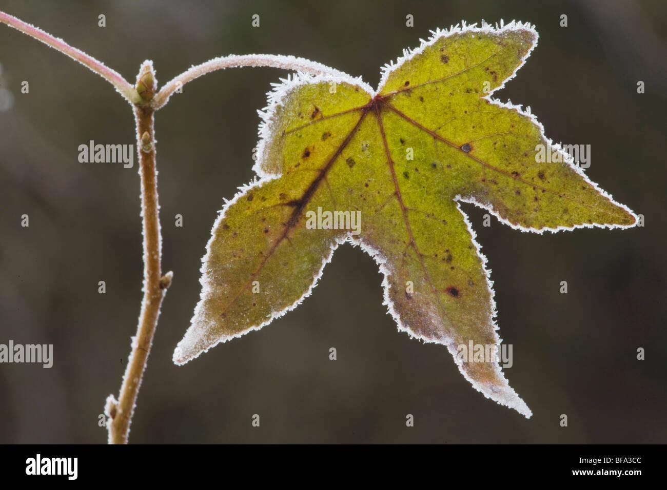American Sweetgum (Liquidambar styraciflua), leaf frost covered, Lillington, North Carolina, USA - Stock Image