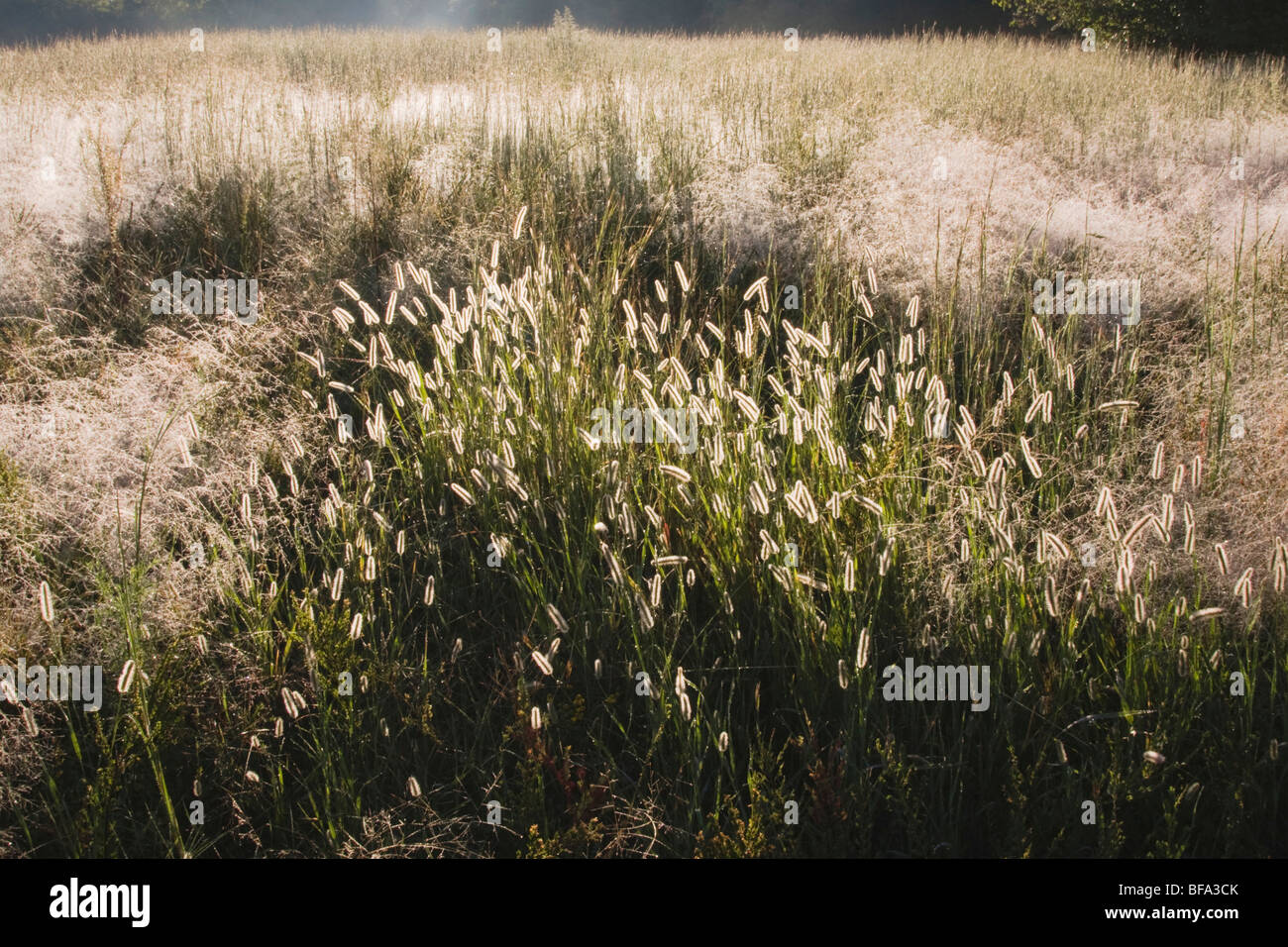 Frost covered Grass (Poaceae) , Raleigh, North Carolina, USA Stock Photo