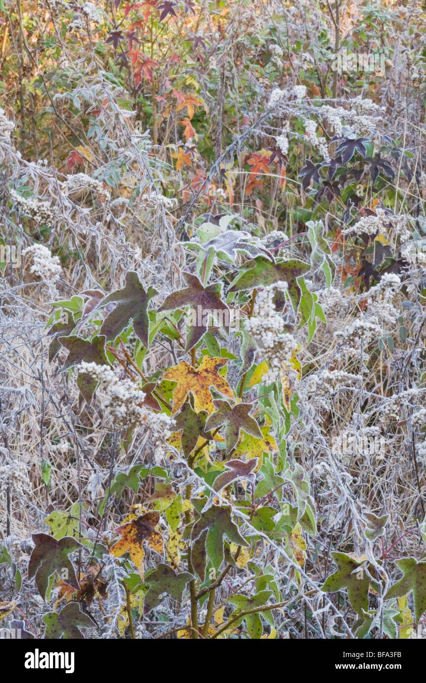 American Sweetgum (Liquidambar styraciflua), leaves frost covered, Lillington, North Carolina, USA - Stock Image