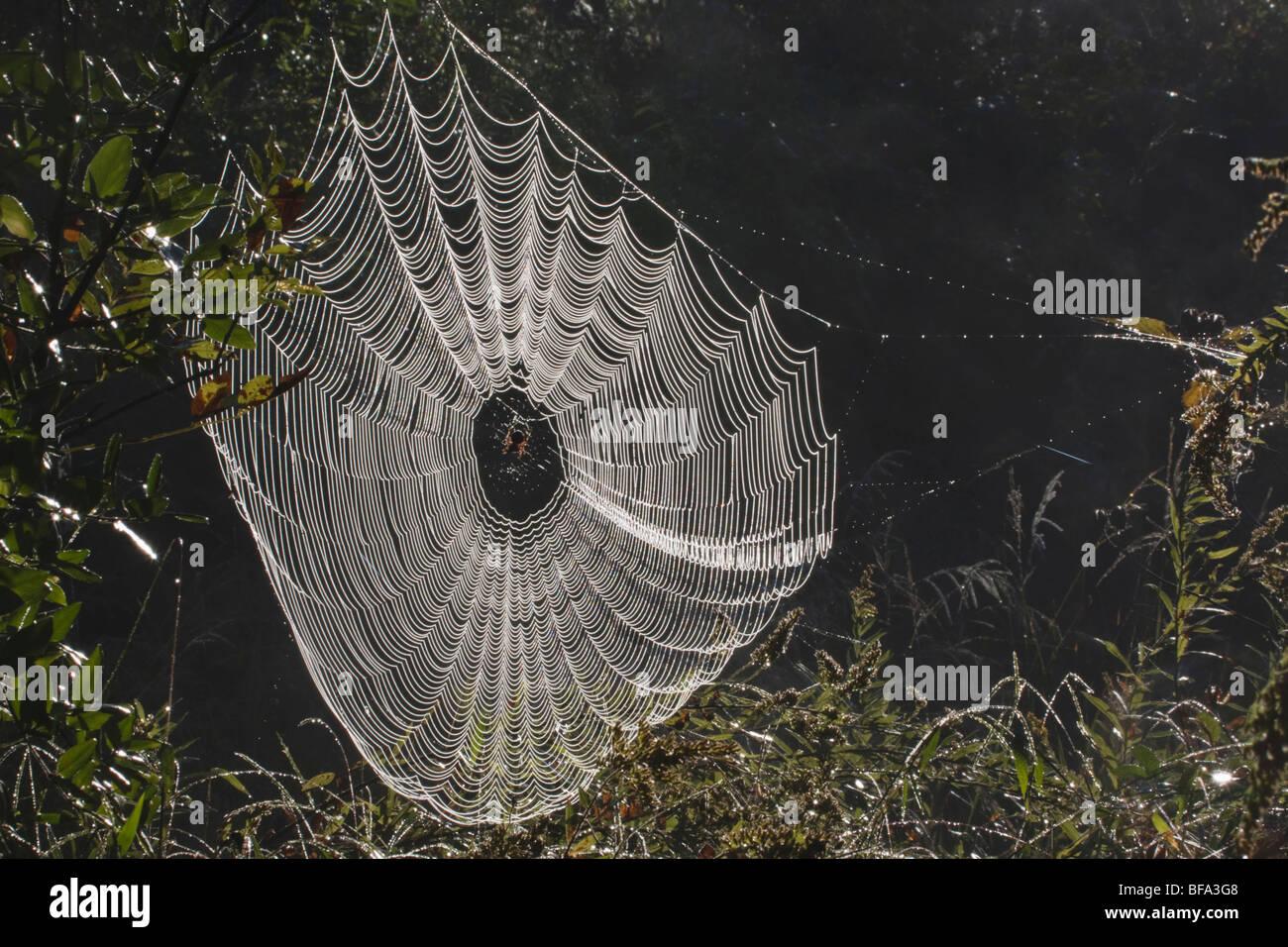 Spider web covered in dew, Lillington, North Carolina, USA - Stock Image