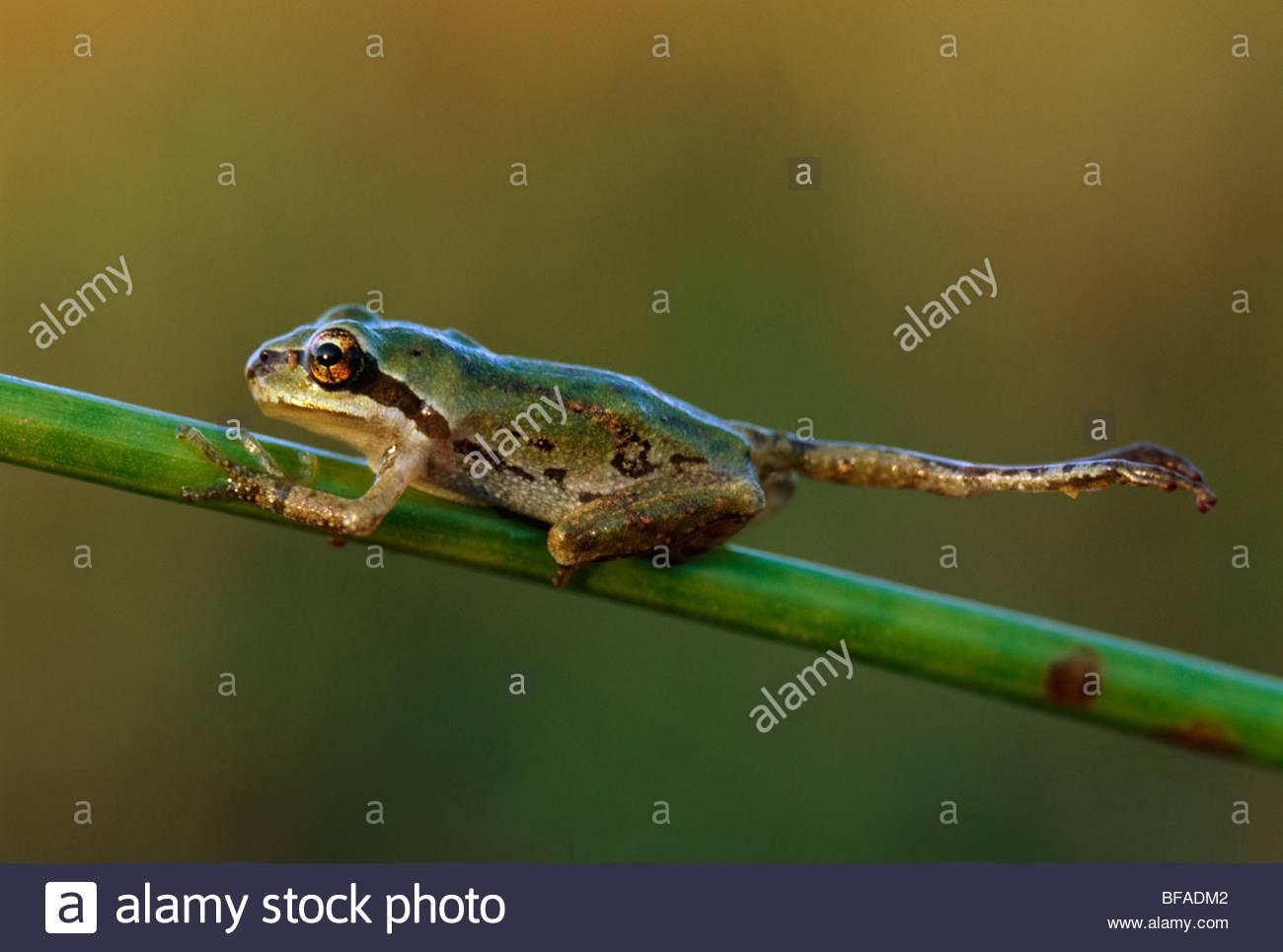 Deformed pacific tree frog, Hyla regilla, Wilson State Reserve, Oregon - Stock Image