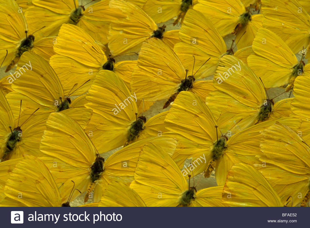 Cloudless sulfur butterfly specimens, Phoebis sennae, National Institute of Biodiversity, Costa Rica - Stock Image