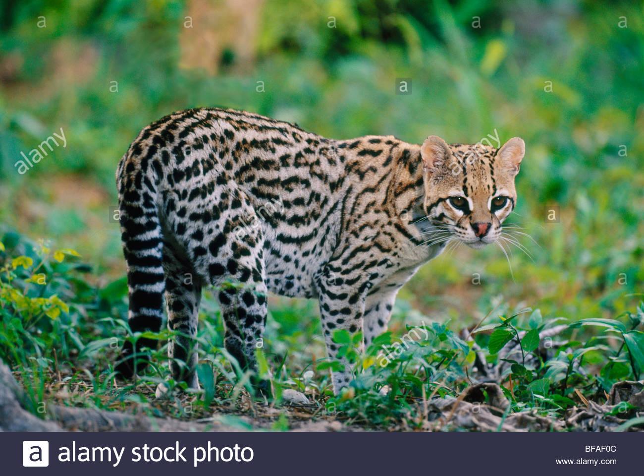 Ocelot, Leopardus pardalis, Pantanal, Brazil - Stock Image