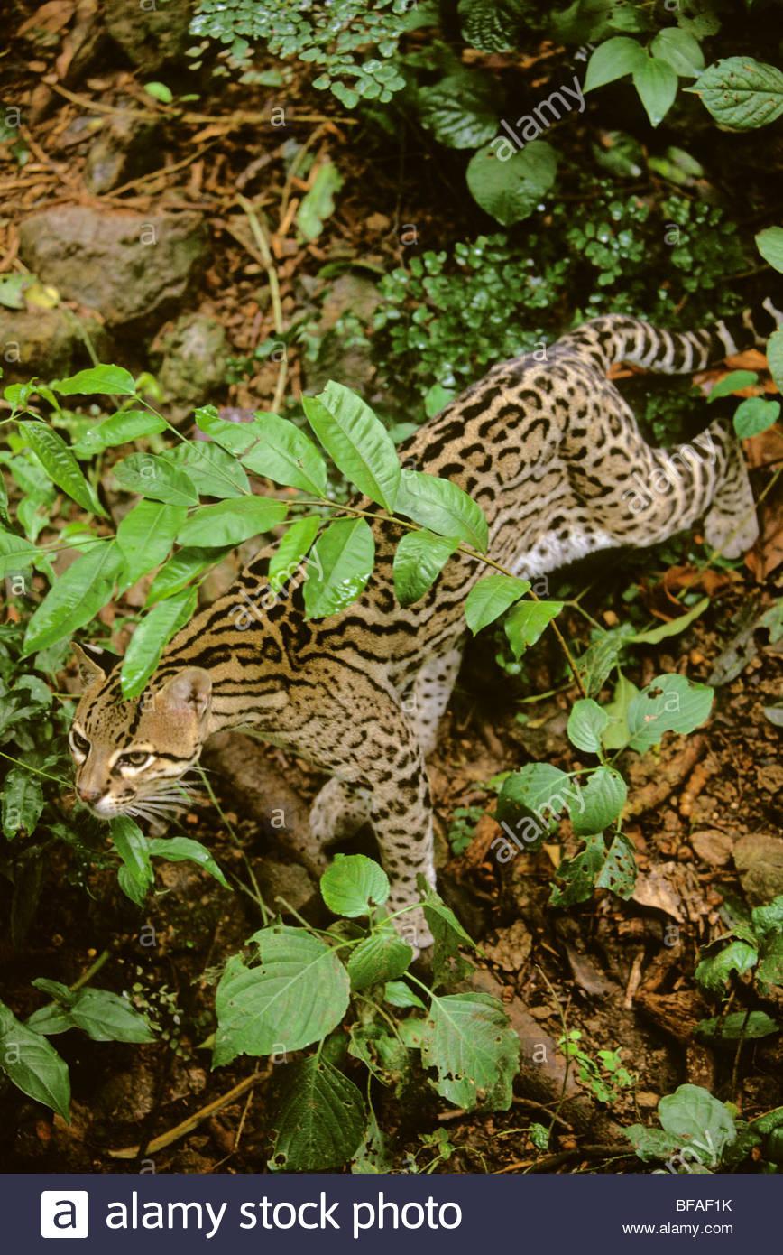 Ocelot stalking, Leopardus pardalis, Chiapas, Mexico - Stock Image
