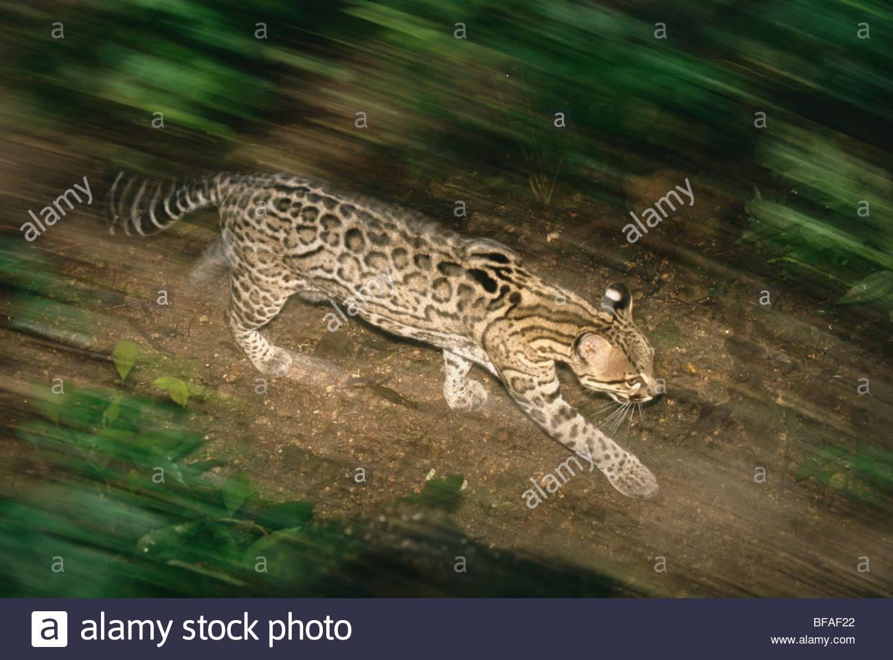 Ocelot running, Leopardus pardalis, Chiapas, Mexico - Stock Image