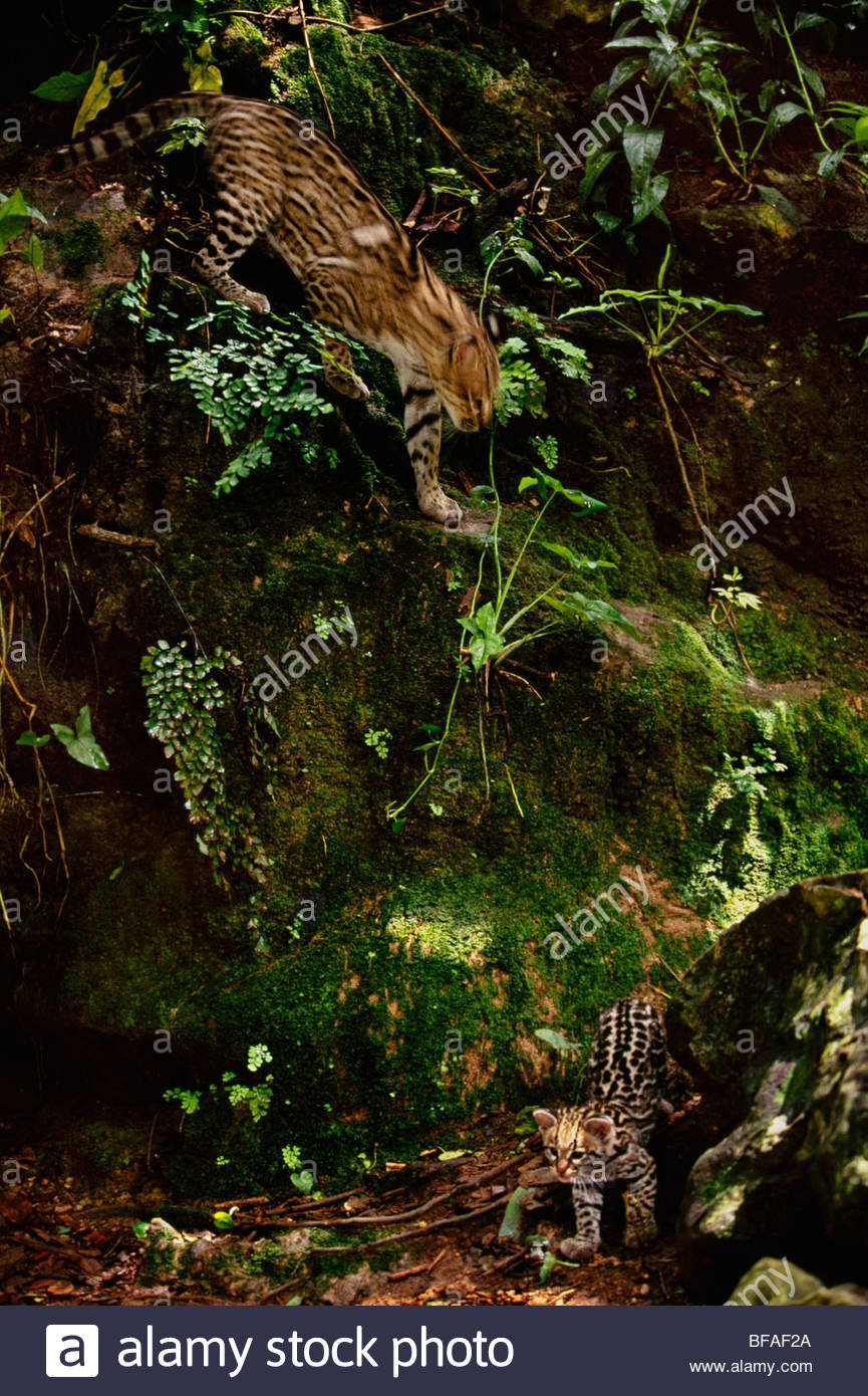 Ocelot and kitten, Leopardus pardalis, Chiapas, Mexico - Stock Image
