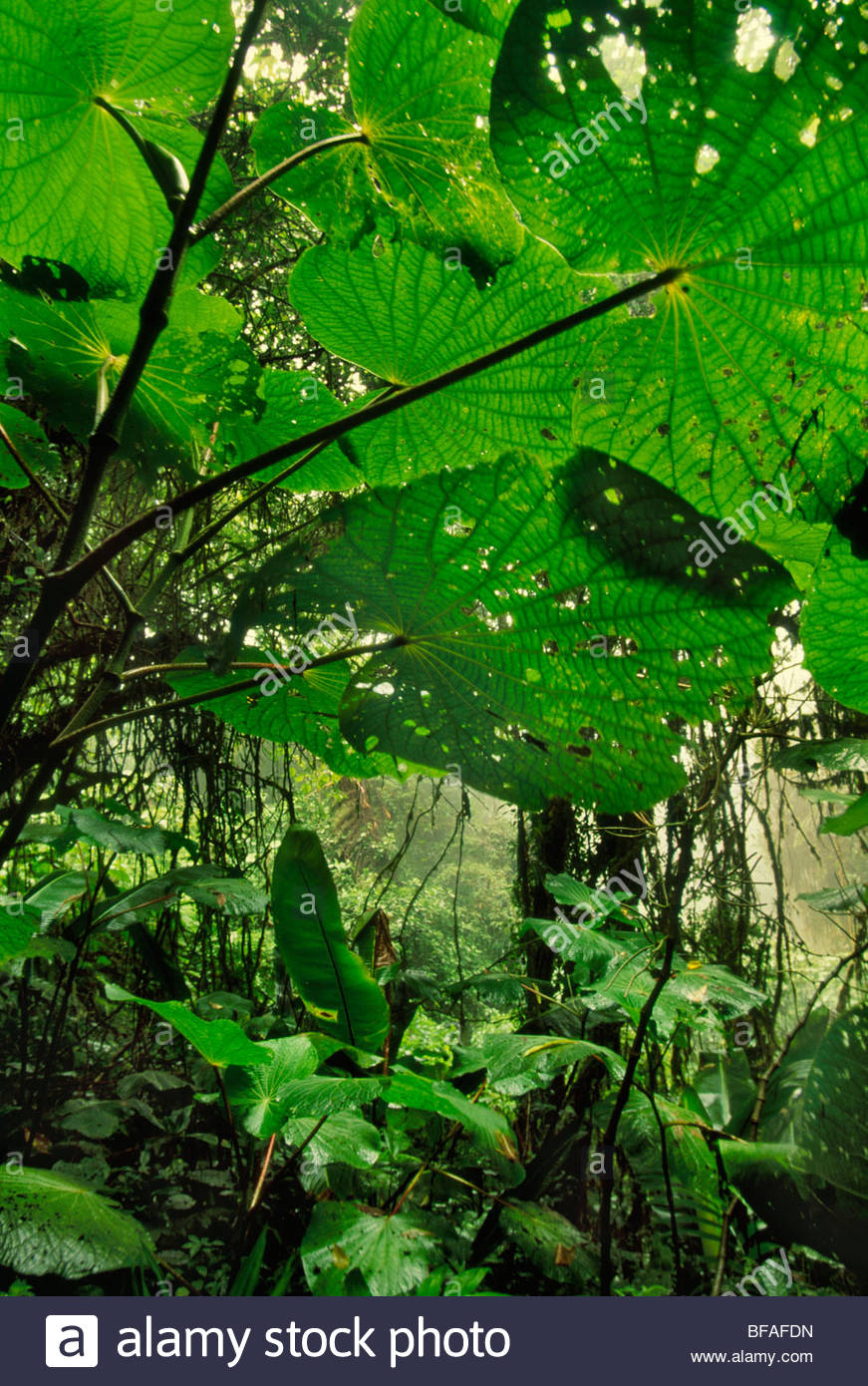 Cloud forest undergrowth, Monteverde Cloud Forest Preserve, Costa Rica - Stock Image