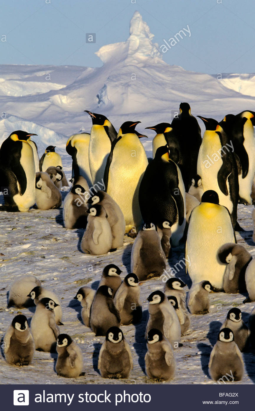Adult emperor penguins with chicks, Aptenodytes forsteri, Antarctica - Stock Image