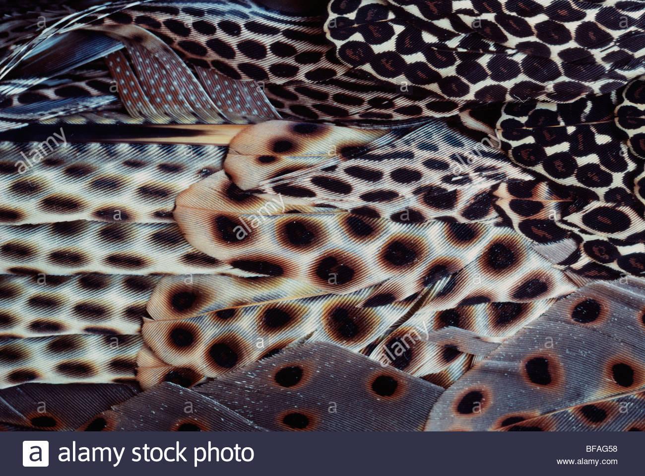 Greater argus pheasant male wing plumage, Argusianus argus, Borneo - Stock Image