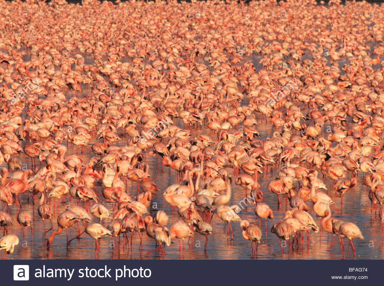 Lesser flamingos, Phoenicopterus minor, Lake Nakuru National Park, Kenya - Stock Image
