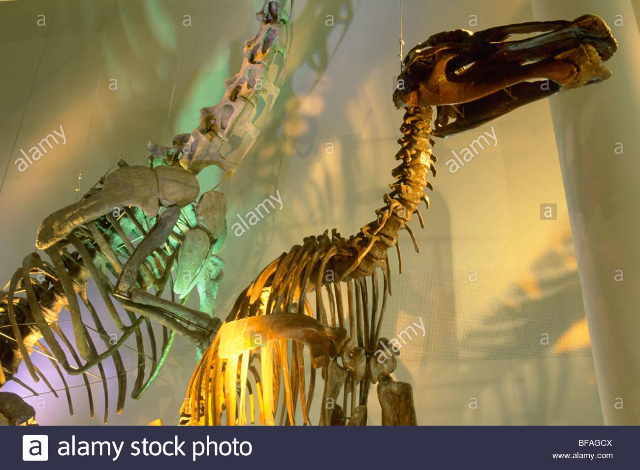 Duck-billed dinosaur skeletons, Naturalis the National Museum of Natural History, Leiden, Netherlands - Stock Image