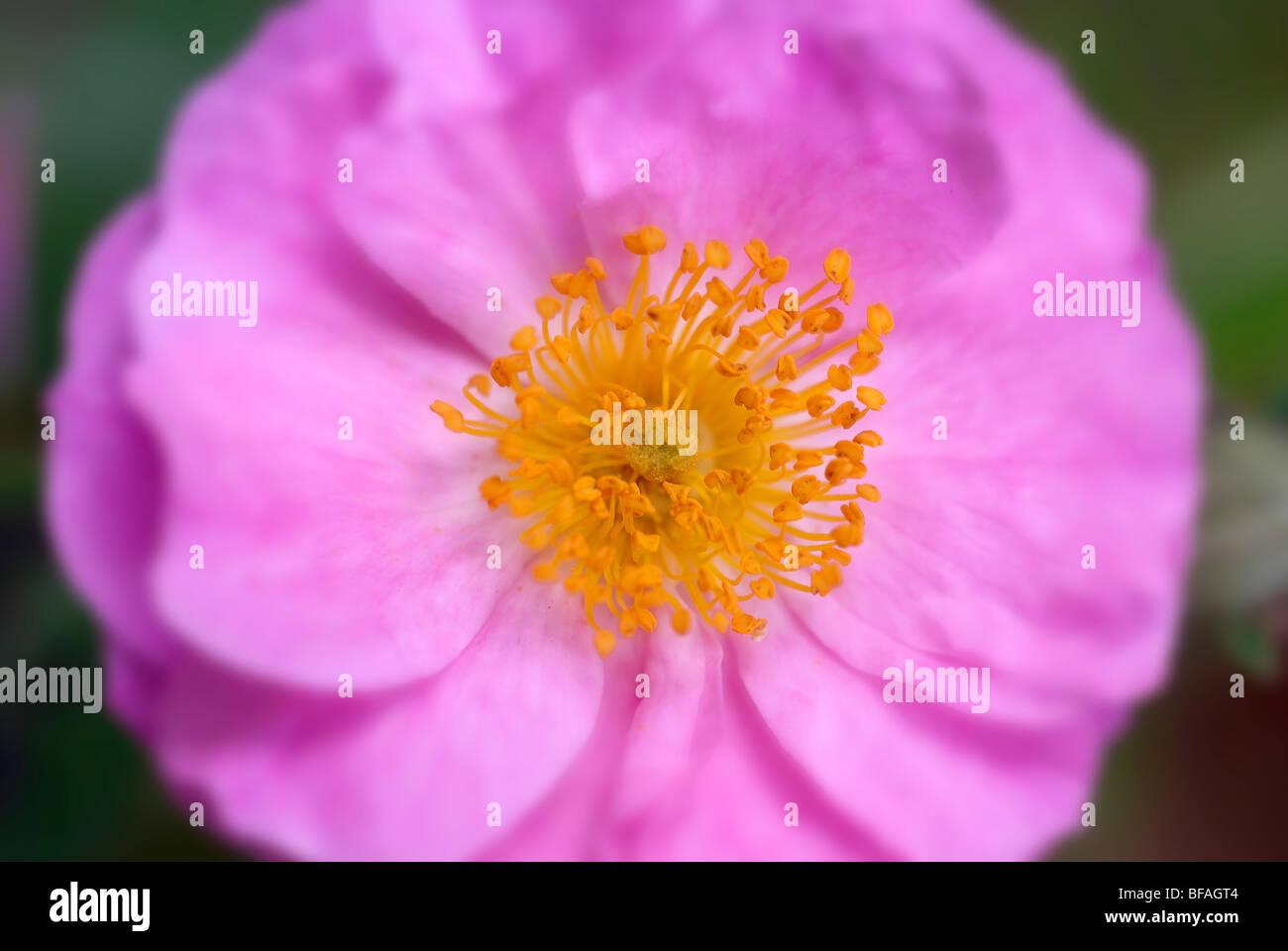 Pink miniature rose, pollen, magenta rose Stock Photo