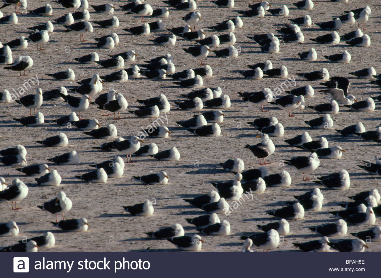 Western gulls sleeping, Larus occidentalis, Gulf of Farallones National Marine Sanctuary, California - Stock Image