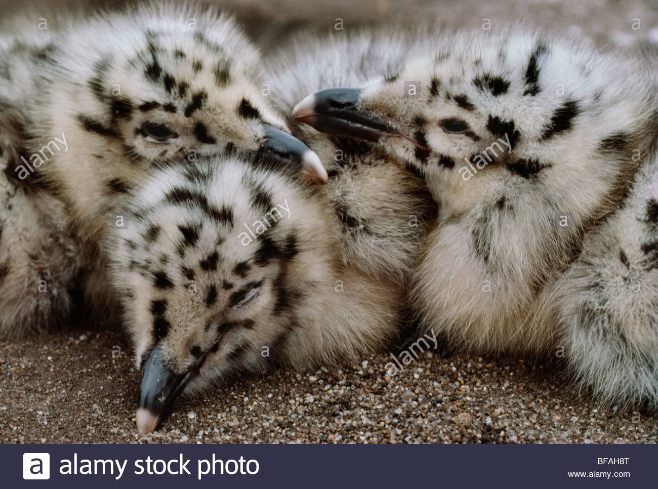 Western gull chicks, Larus occidentalis, Monterey Bay, California - Stock Image