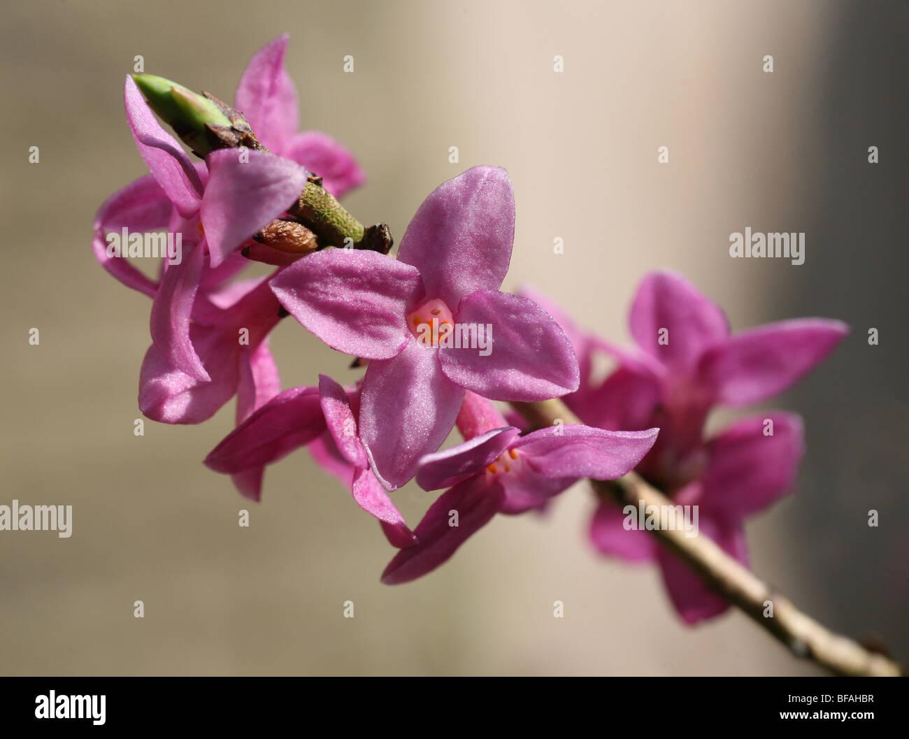 pink Daphne mezereum flower - Stock Image